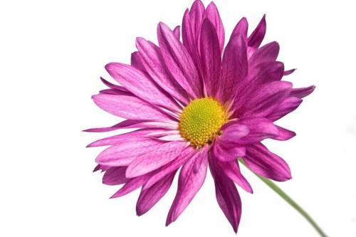 Цветы хризантемы
